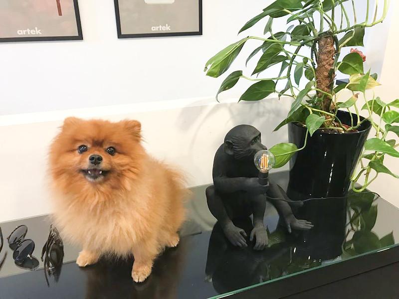 Leo The Pomeranian