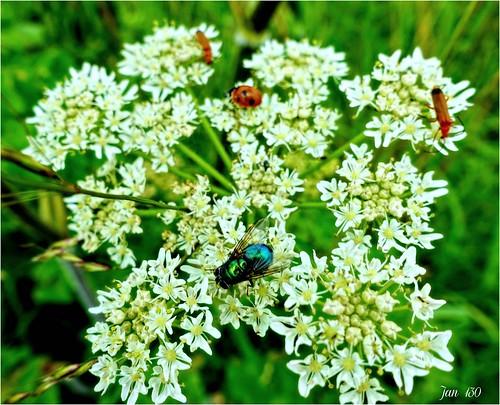 jan130 cowparsley firebeetle ladybird ladybug topazstudio picmonkey fly music ngc npc
