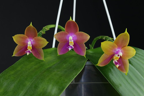"Phalaenopsis Penang Girl ""Ching Ruey"" 