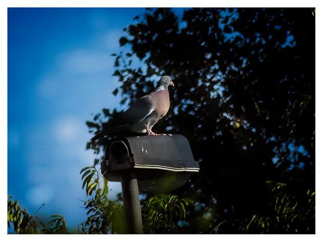 Pigeon on Street Lantern