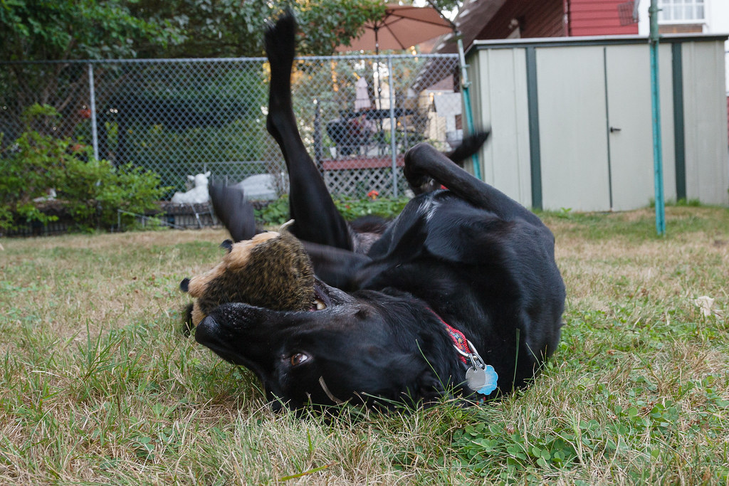 Our dog Ellie rolls in the grass while chewing her favorite toy, baby hedgehog, in our backyard in Portland Oregon on August 31, 2009. Original: _MG_6278.cr2
