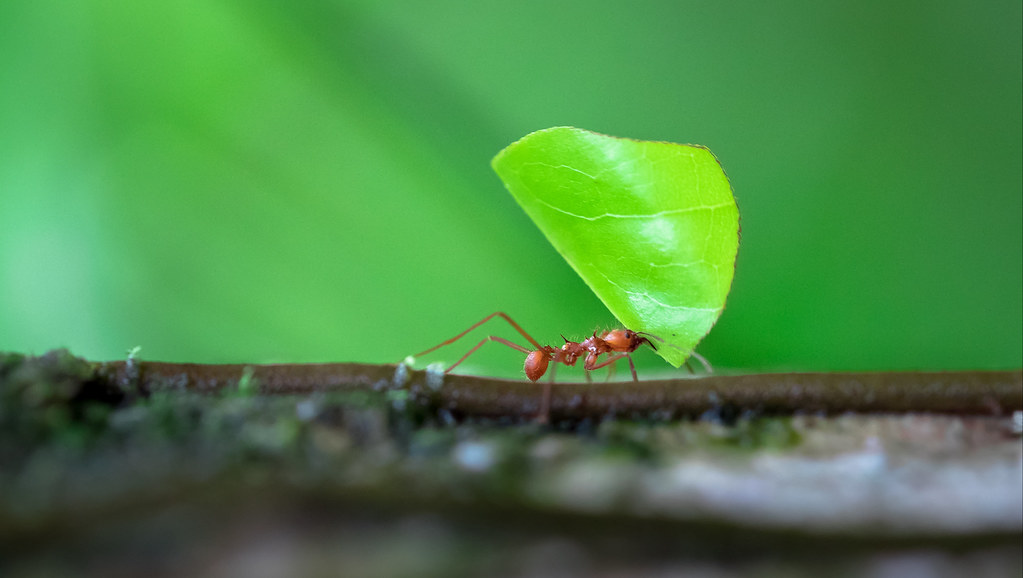 Ant carrying leaf fragment