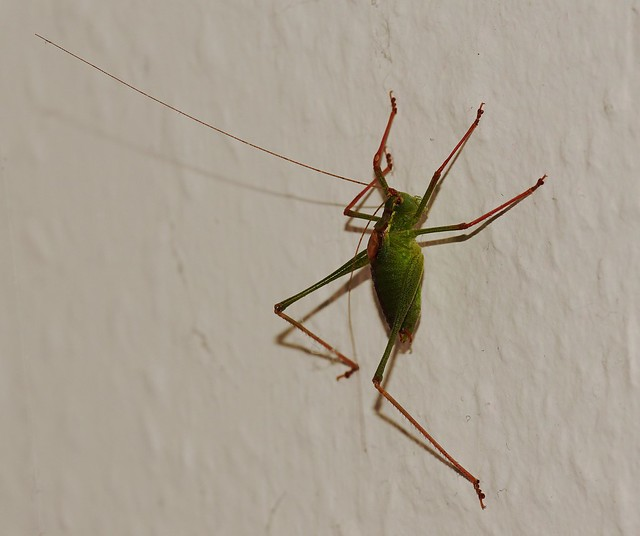 Speckled bush-cricket (Leptophyes punctatissima) on the wall
