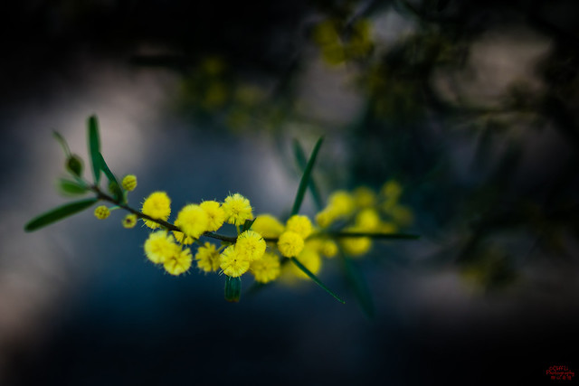 Wattle Acacia in Spring In Australia