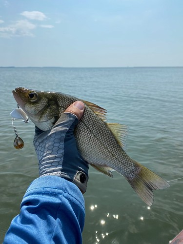 Photo of white perch held above the water