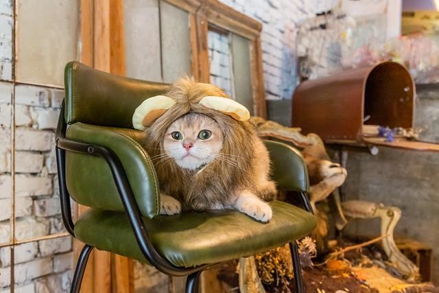 Cute Lion 戴獅子頭套的貓
