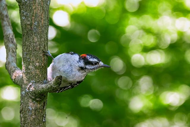 RBG Woodpecker
