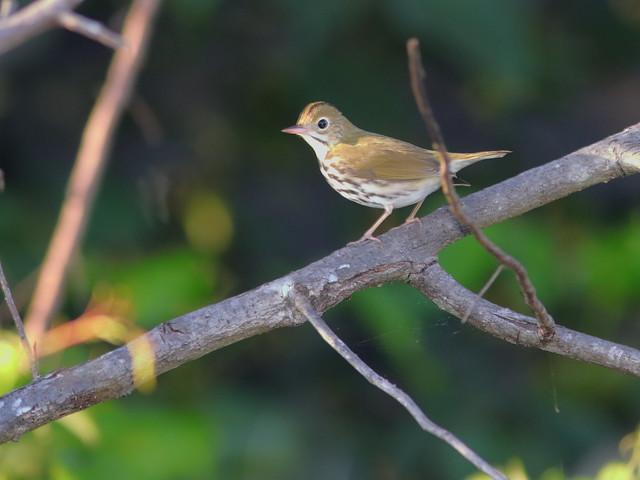 Ovenbird 02-20200826