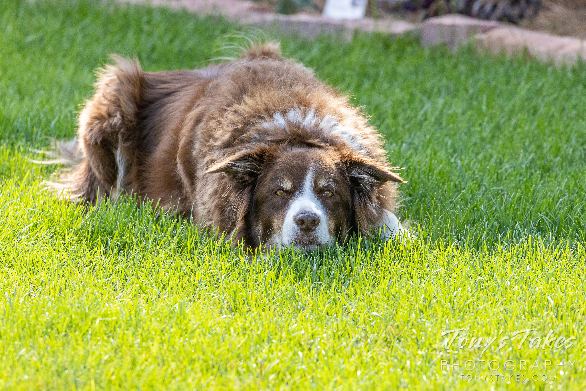 Scout anxiously awaits another throw of the Frisbee. (© Tony's Takes)