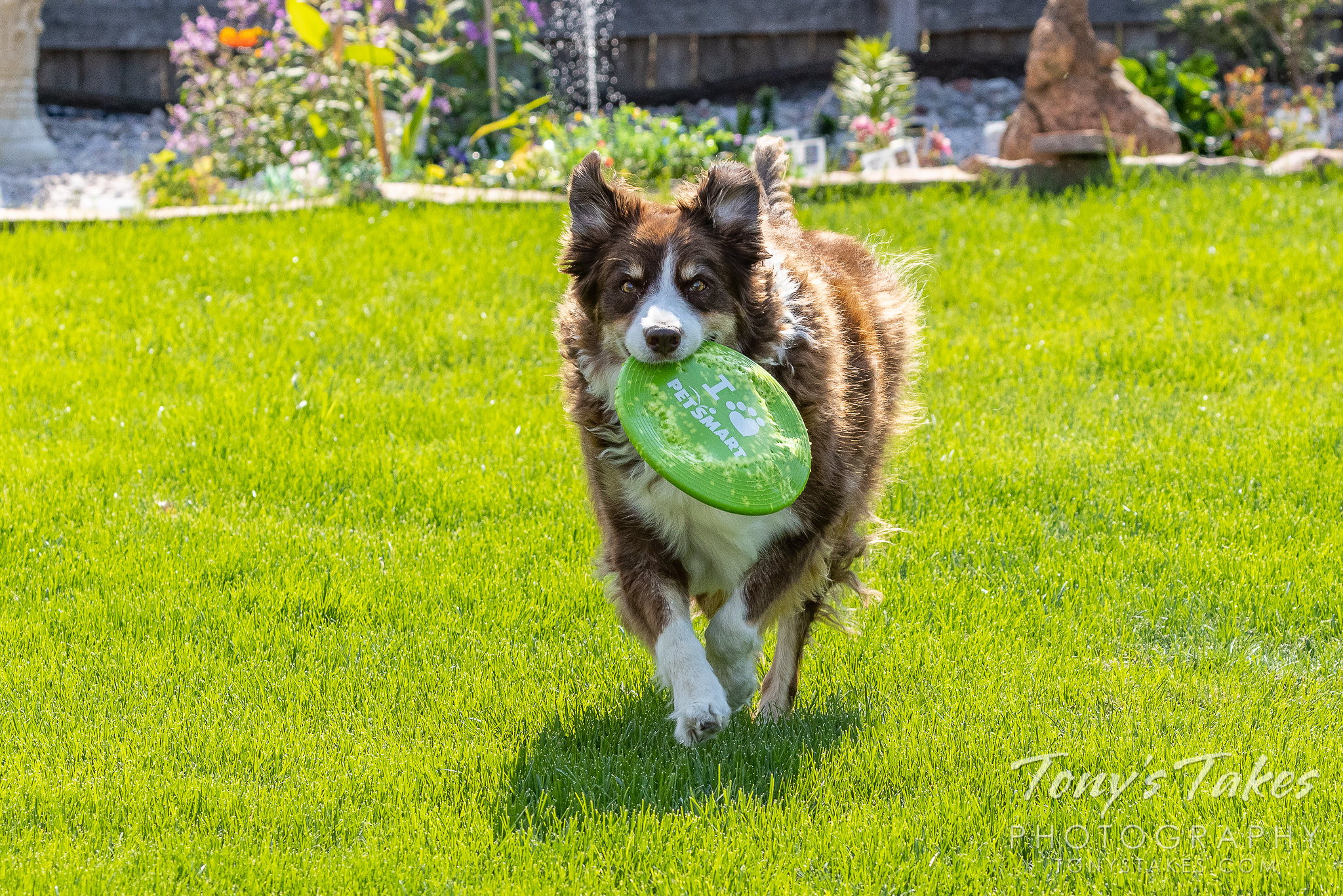 Scout returns with a Frisbee. (© Tony's Takes)