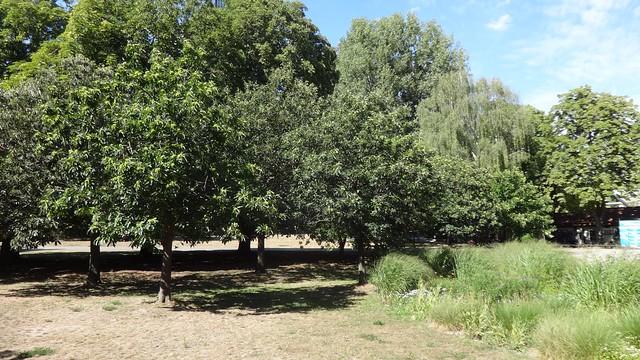 Edelkastanien oder Esskastanien (castanea sativa) im Volkspark Treptow Puschkinallee in 12435 Berlin-Treptow