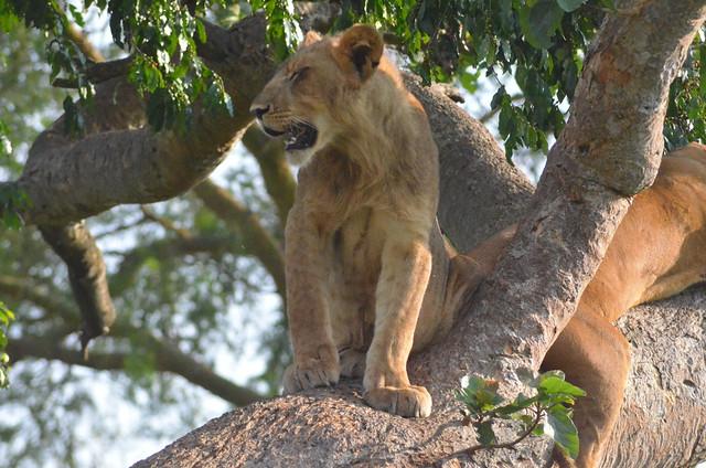 The climbing lions