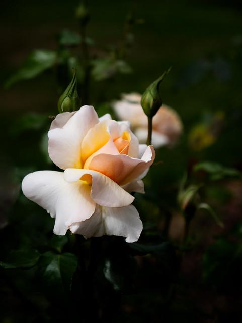 White Tinged Yellow & Peach