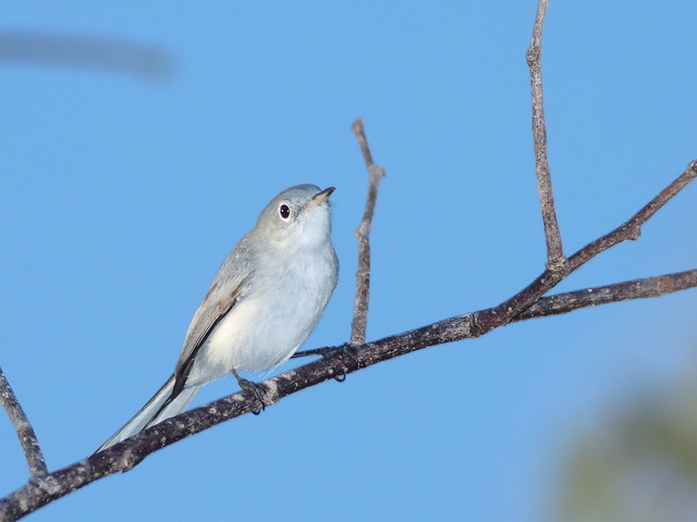 Blue-gray Gnatcatcher 01-20200826