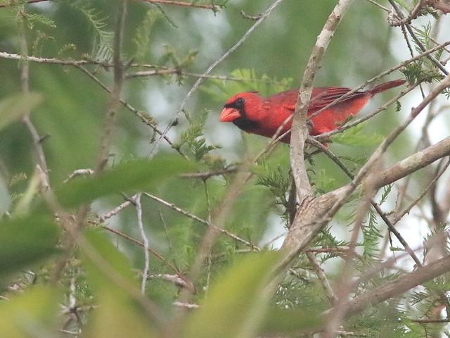 Northern Cardinal 08-20200526