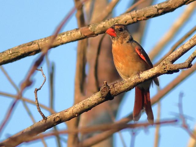 Northern Cardinal female 04-20200526