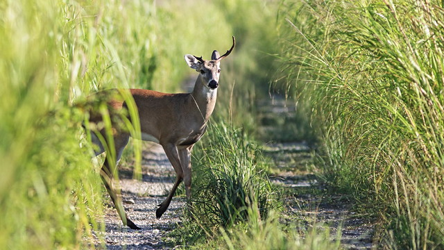 White-taled Deer one-horn buck 01-20200826