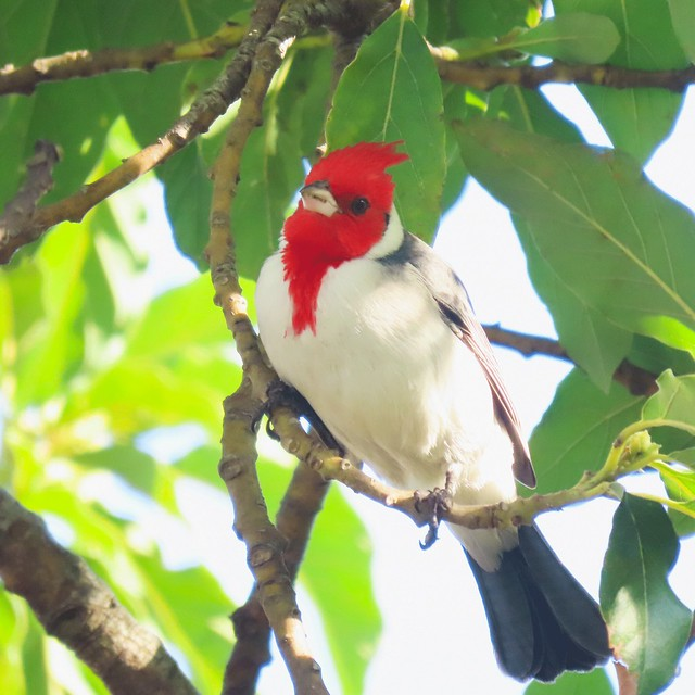 Cardeal/Red-crested Cardinal