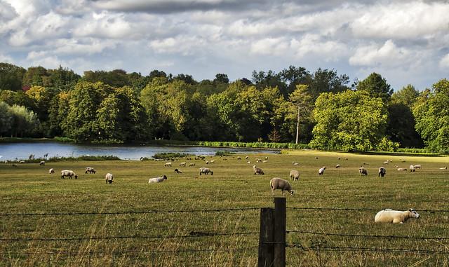 Sheep at Avington Park, Hampshire