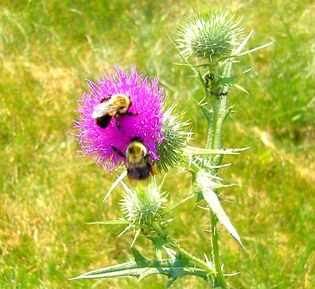 Two Bumblebees on thistle