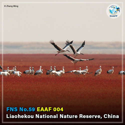 EAAF004 (Liaohekou National Nature Reserve) Card News