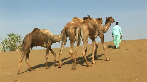 india rajasthan thar desert asienmanvideography camels