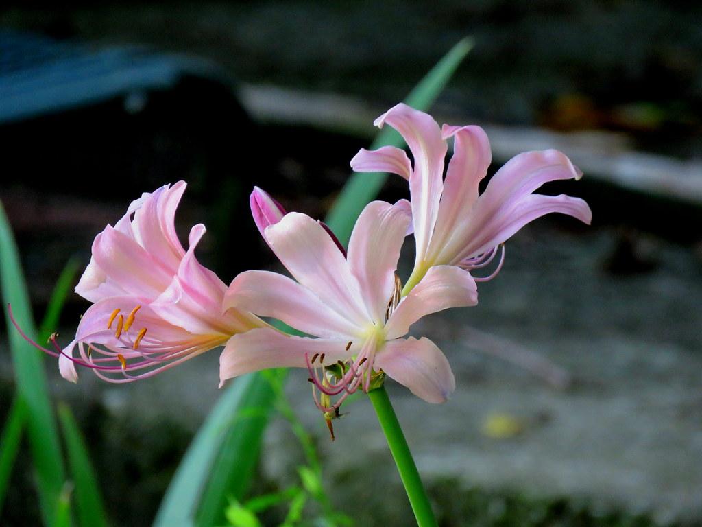 Amaryllis belladonna Lily Naked Lady bulb large pink