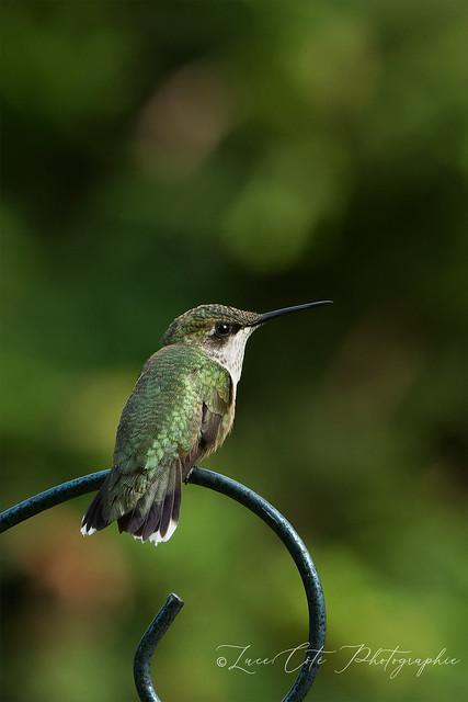 Ruby-Throated Hummingbird / Colibri à Gorge Rubis (In Explore)