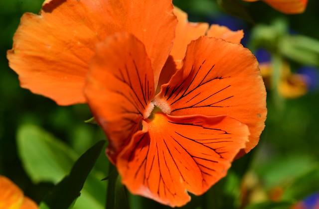 Munich - Orange Pansy