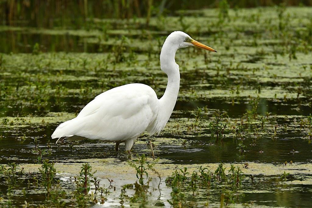Great White Egret (Casmerodius albus)