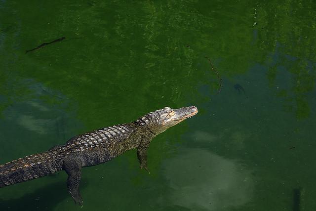 Alligator - Le Pal
