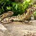 Krokodýlovec čínský (Shinisaurus crocodilurus)