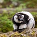 Vari černobílý (Varecia variegata)