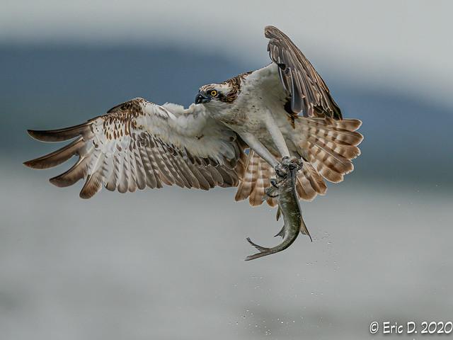 Osprey\ Fischadler