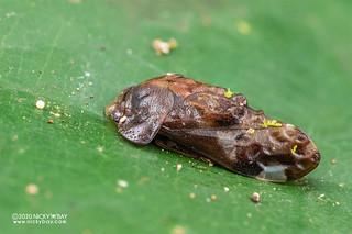 Leafhopper (Dusuna sp.) - DSC_3776