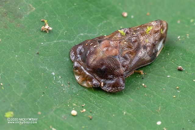 Leafhopper (Dusuna sp.) - DSC_3767