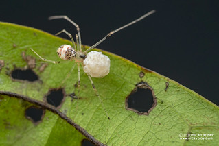 Comb-footed spider (cf. Platnickina sp.) - DSC_4745