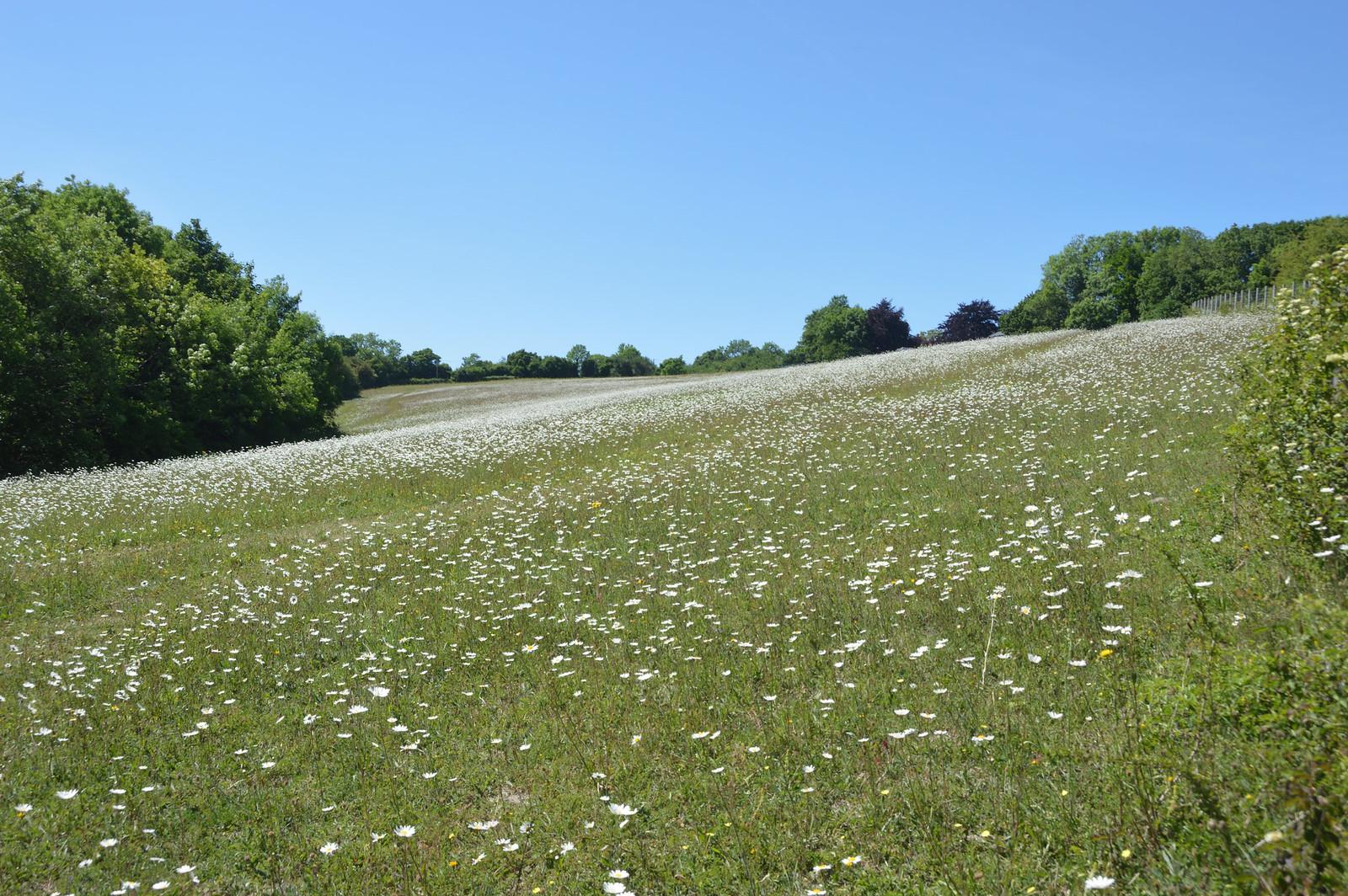 Shoreham Dalhanna field of Oxeye daisies