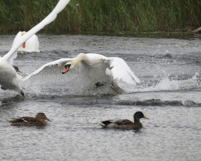 Swans a'Swimming...