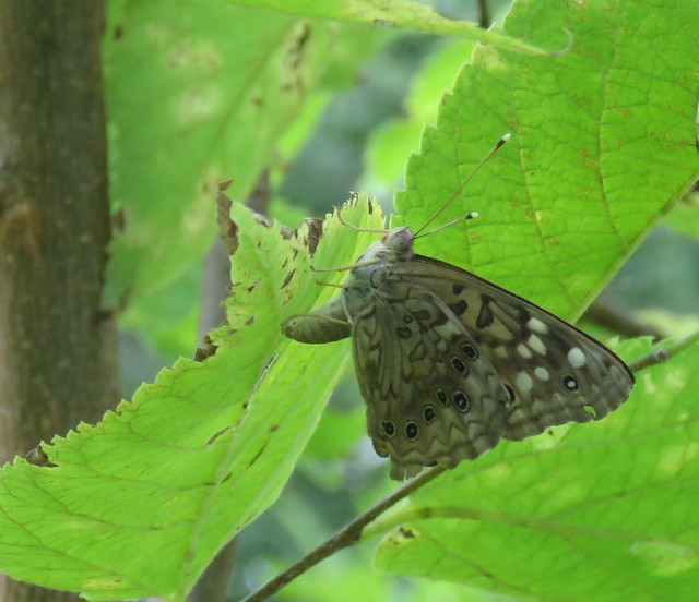 hackberry emperor laying an egg