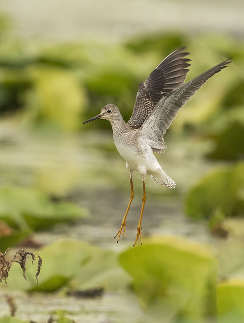 Greater yellowleg falling out of the sky