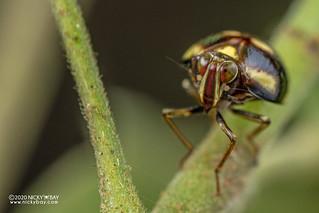 Pill-like planthopper (Gergithus sp.) - DSC_4151