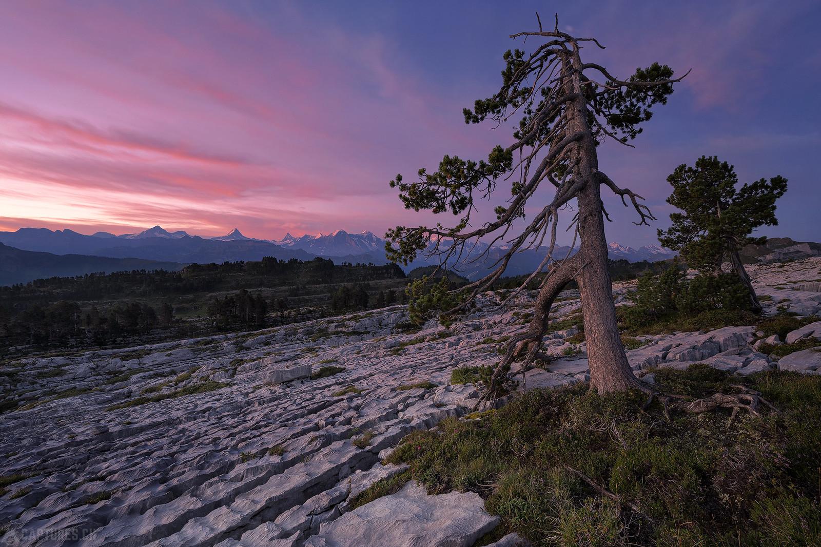 Trees at dawn - Seefeld