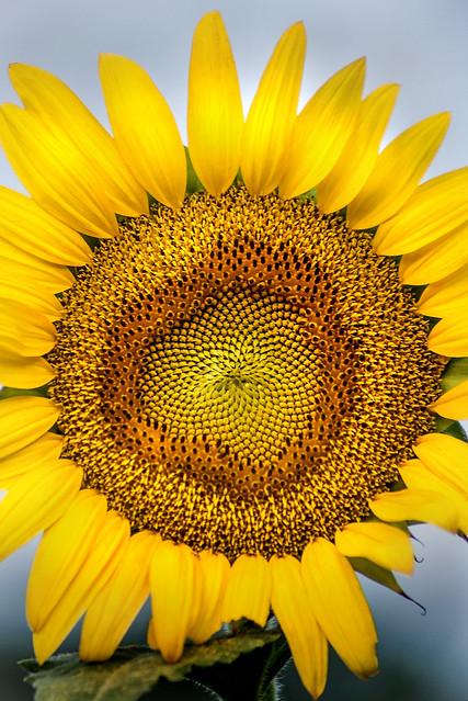Blooming Sunflower 3-0 F LR 7-20-20 J093