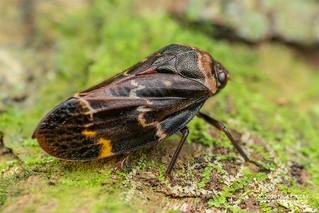 Froghopper (Cercopidae) - DSC_4188