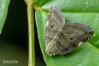 Moth-like planthopper (Ricaniidae) - DSC_4172
