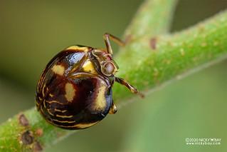 Pill-like planthopper (Gergithus sp.) - DSC_4142