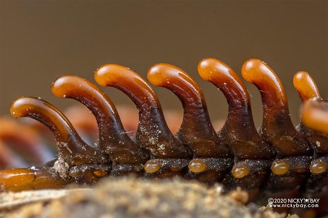 Trilobite beetle (Platerodrilus sp.) - DSC_3825