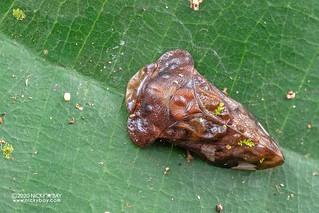 Leafhopper (Dusuna sp.) - DSC_3762