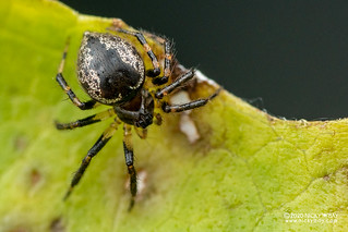 Comb-footed spider (Euryopis sp.) - DSC_4712